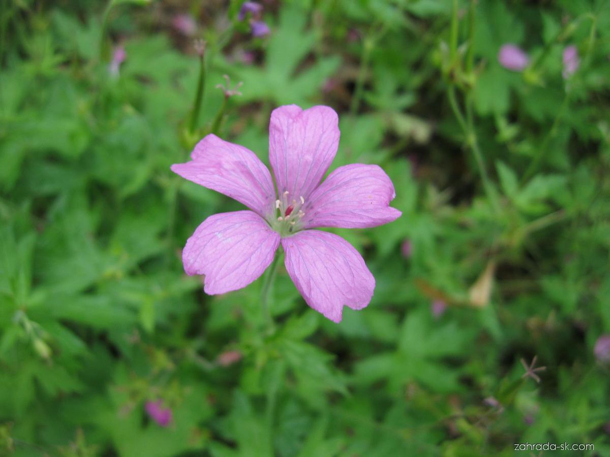 Kakost (Geranium x oxonianum)