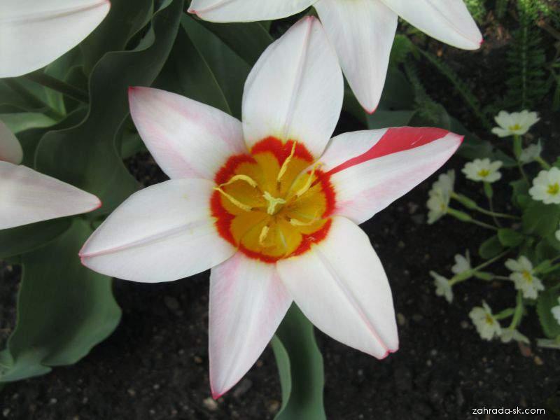 Tulipán Kaufmannov - Tulipa kaufmanniana Ancilla