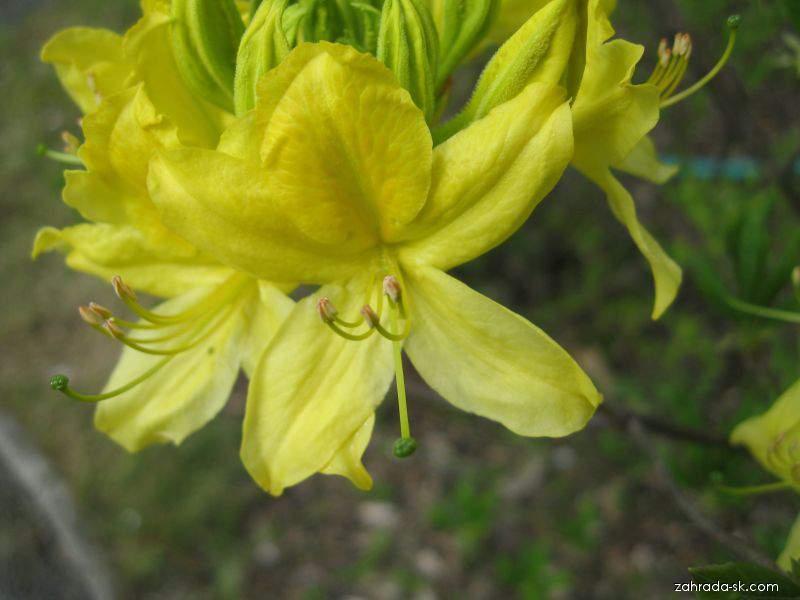 Azalka žlutá (Rhododendron luteum)