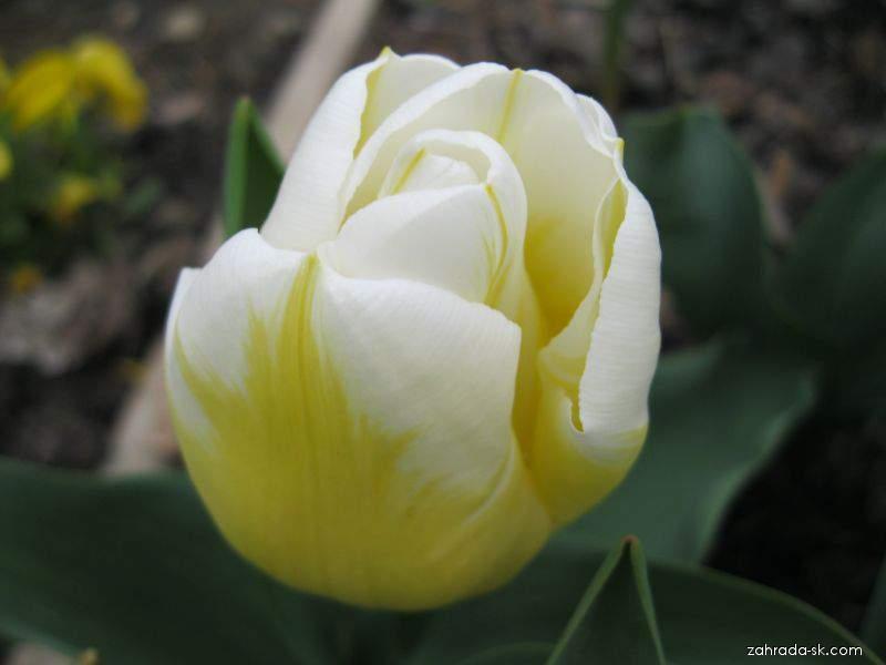 Tulipán - Tulipa Calgary Flame