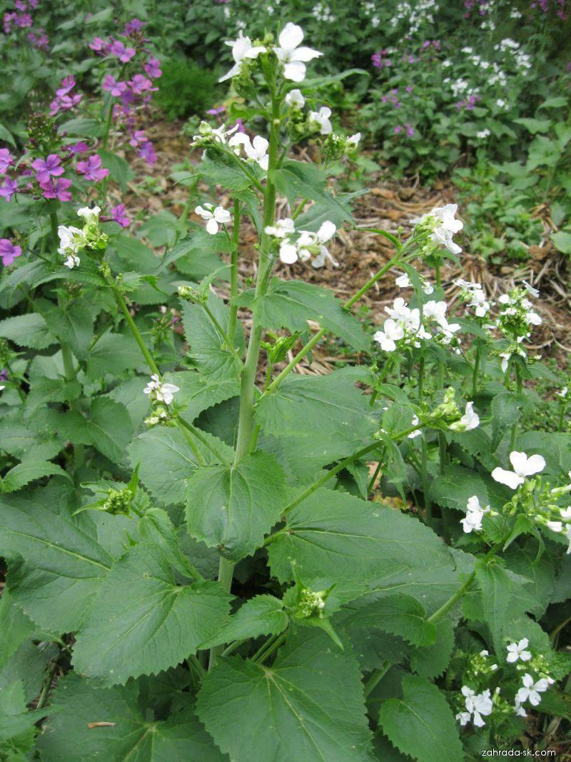 Měsíčníce roční (Lunaria annua)