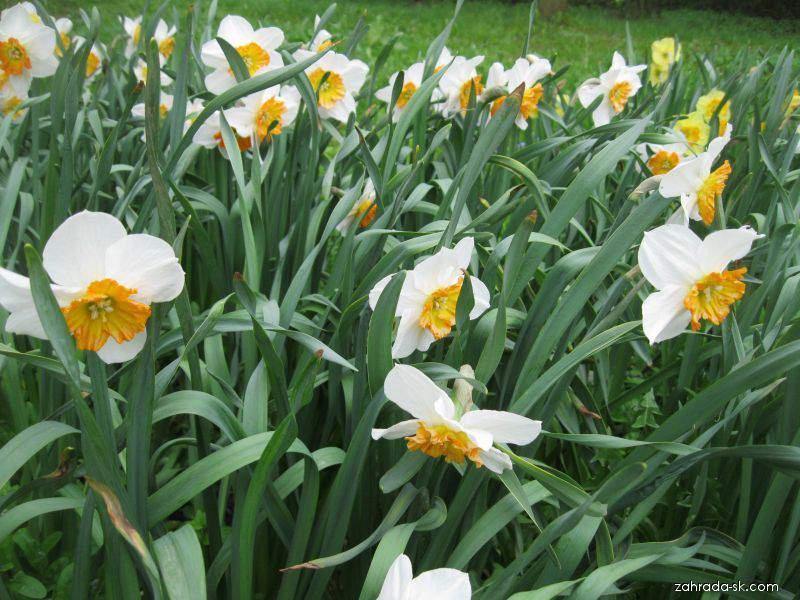 Narcis - Narcissus Bella Vista