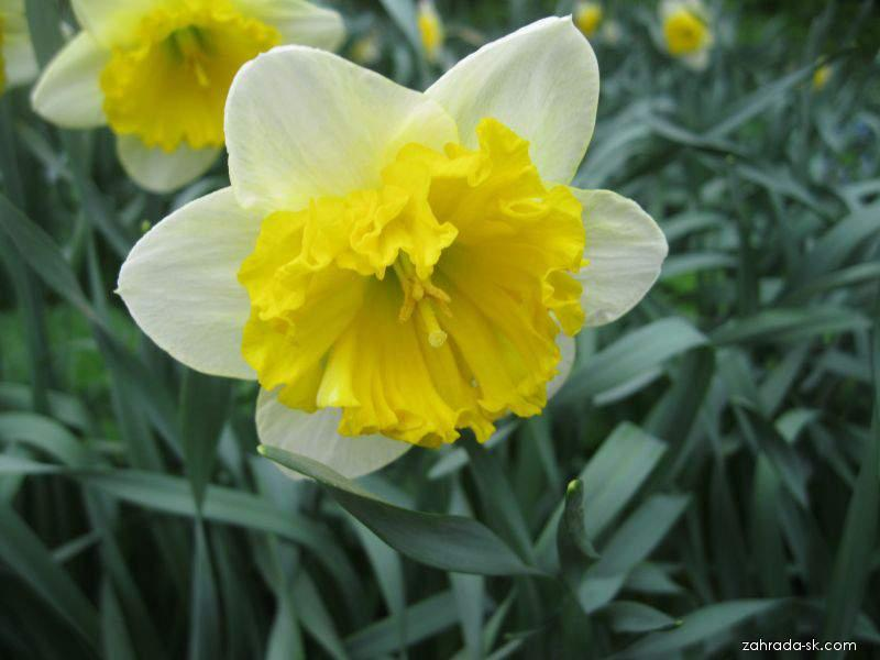 Narcissus Corly (narcis)