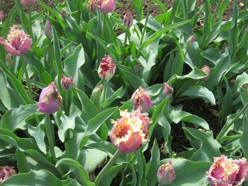 Tulipán - Tulipa Cummins