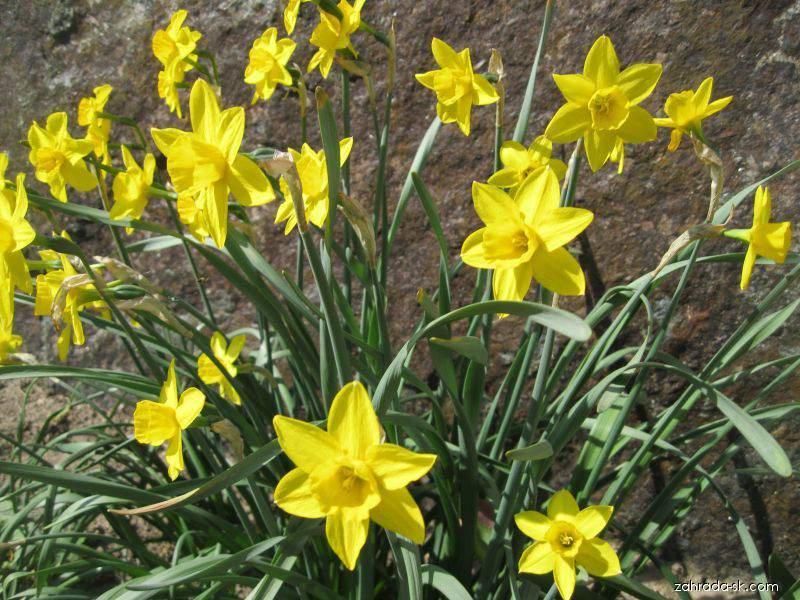 Narcis zahradní (Narcissus)