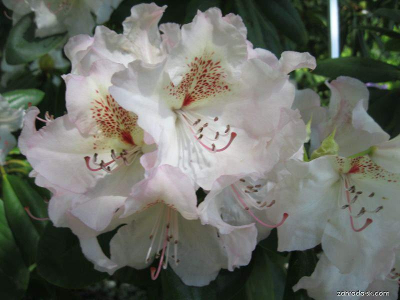 Rododendron - Rhododendron Simona