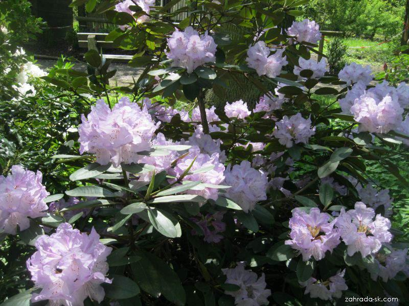 Rhododendron Caracacus (rododendron)