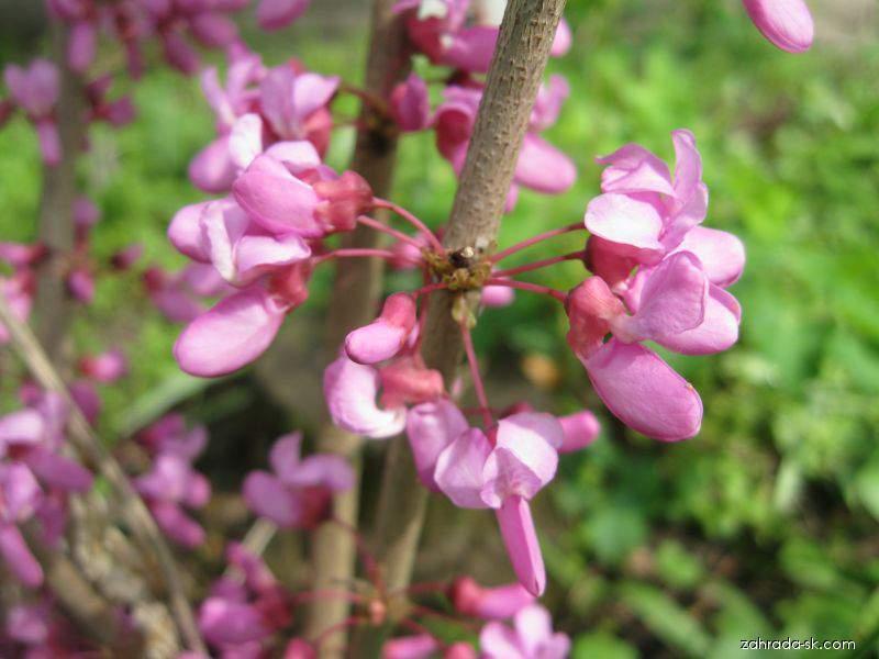 Zmarlika čínská Avondale (Cercis chinensis)