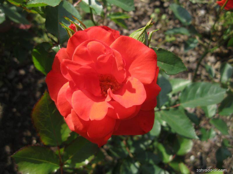Ruža - Rosa Farandole