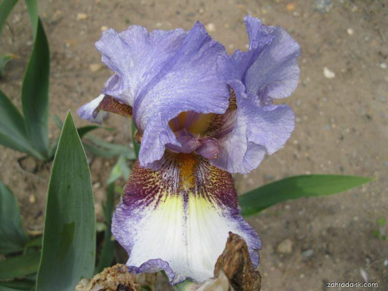Iris barbata On the Go (kosatec záhradný)