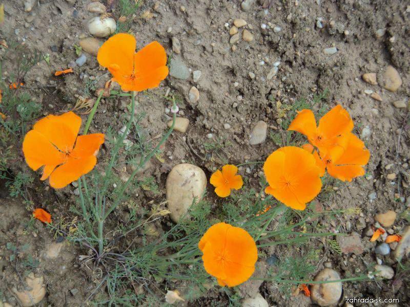 Sluncovka kalifornská (Eschscholtzia californica)
