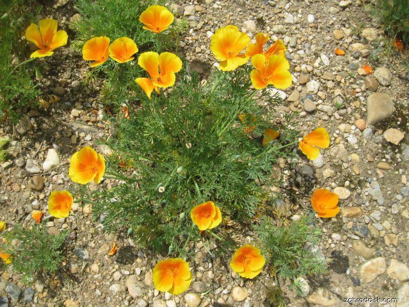 Slncovka kalifornská - Eschscholtzia californica