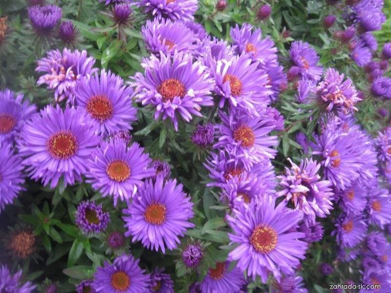 Astra novoanglická - Symphyotrichum novae-angliae Purple Dome