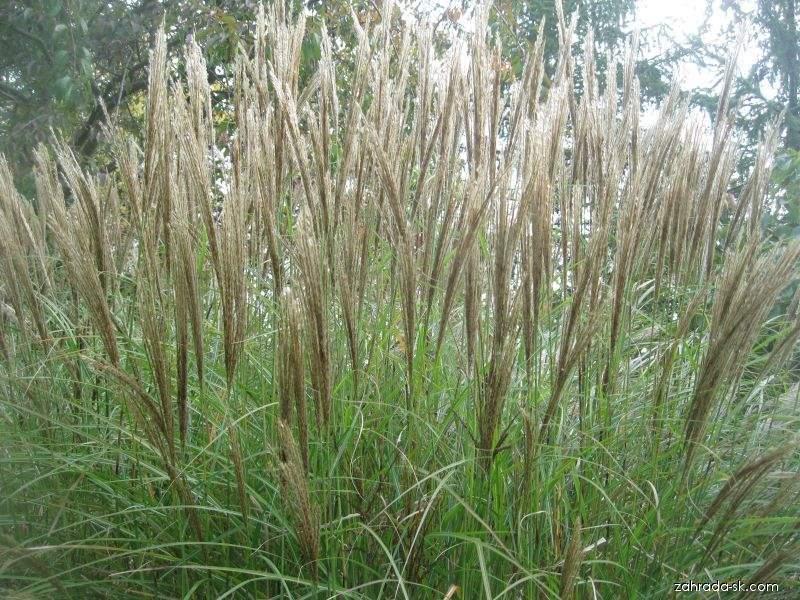 Ozdobnica čínska - Miscanthus sinensis Silberspine