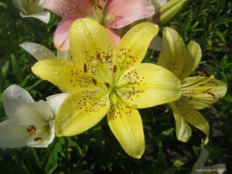 Lilie Aladdins Glow - LA hybridy (Lilium x hybridum)