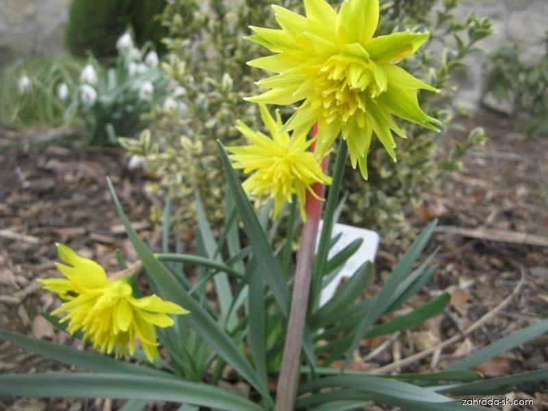 Narcis - Narcissus Rip van Twinkle