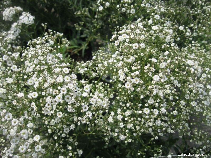 Šater latnatý Summer Sparkles (Gypsophila paniculata)