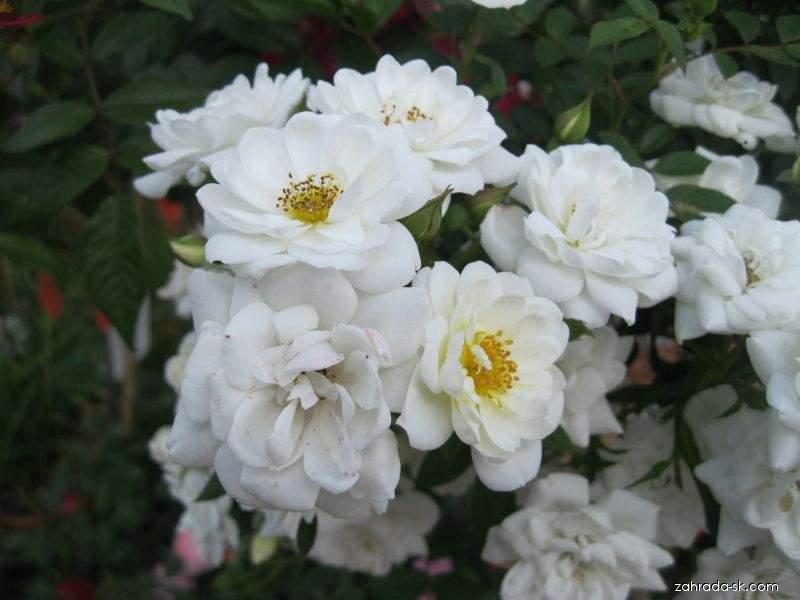 Ruža - Rosa Baletka
