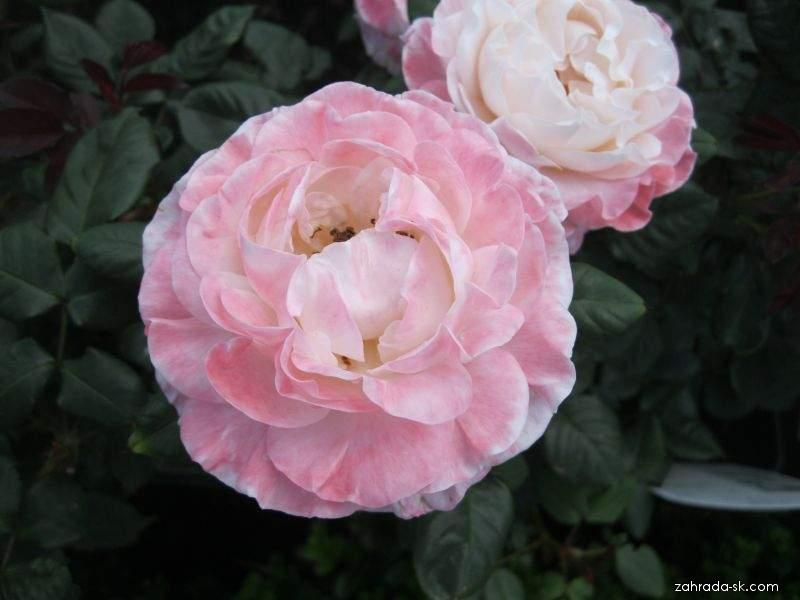 Rosa English Miss (ruža)