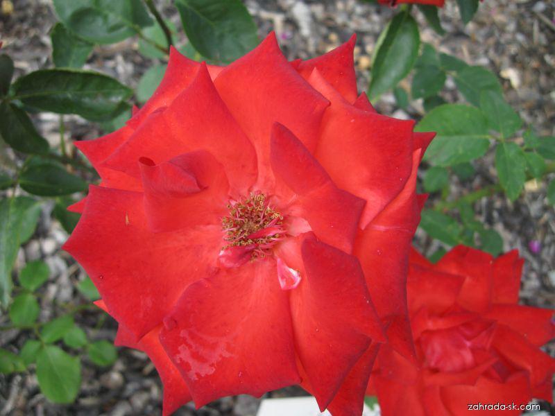 Růže Lidka (Rosa sp)
