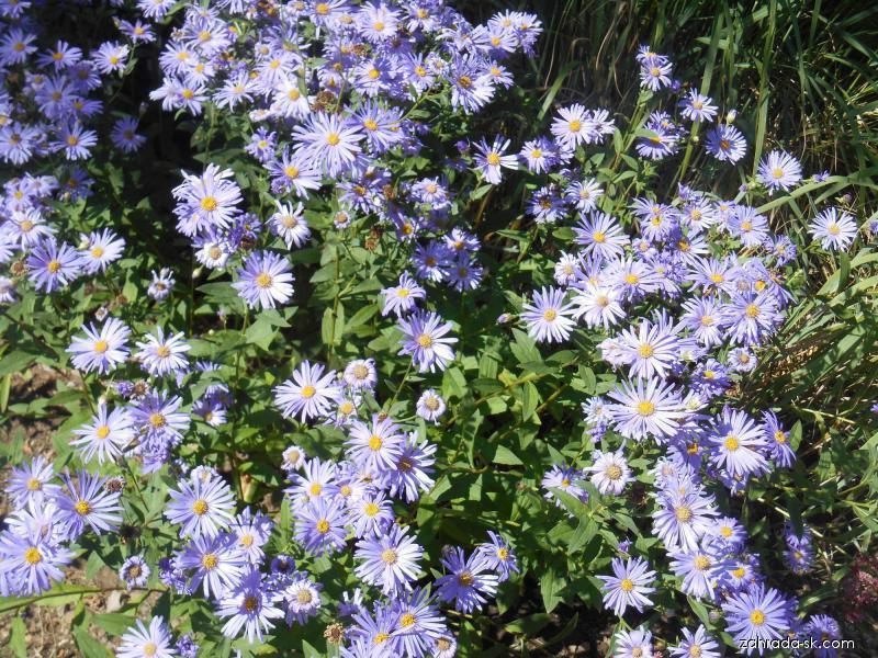 Hvězdnice thomsonova (Aster thomsonii)