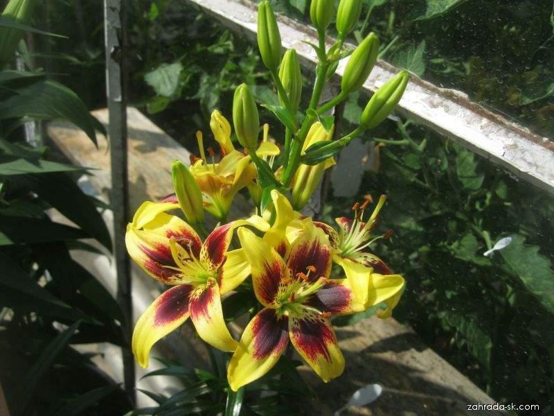 Ľalia - Lilium x hybridum Pieton