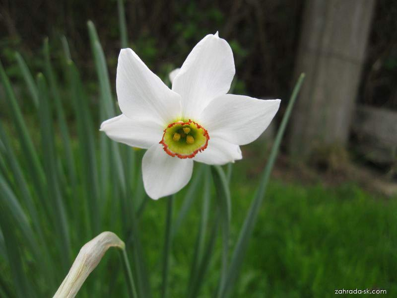 Narcis biely - Narcissus poeticus