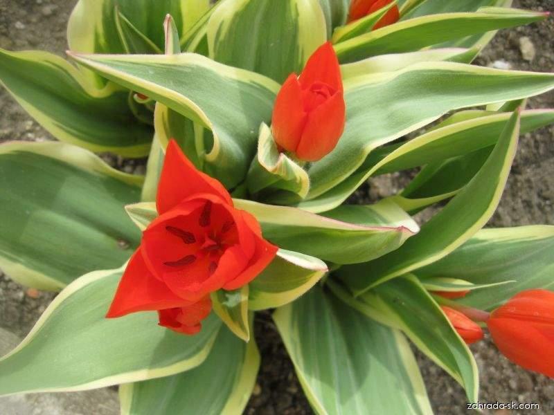 Tulipán - Tulipa praestans