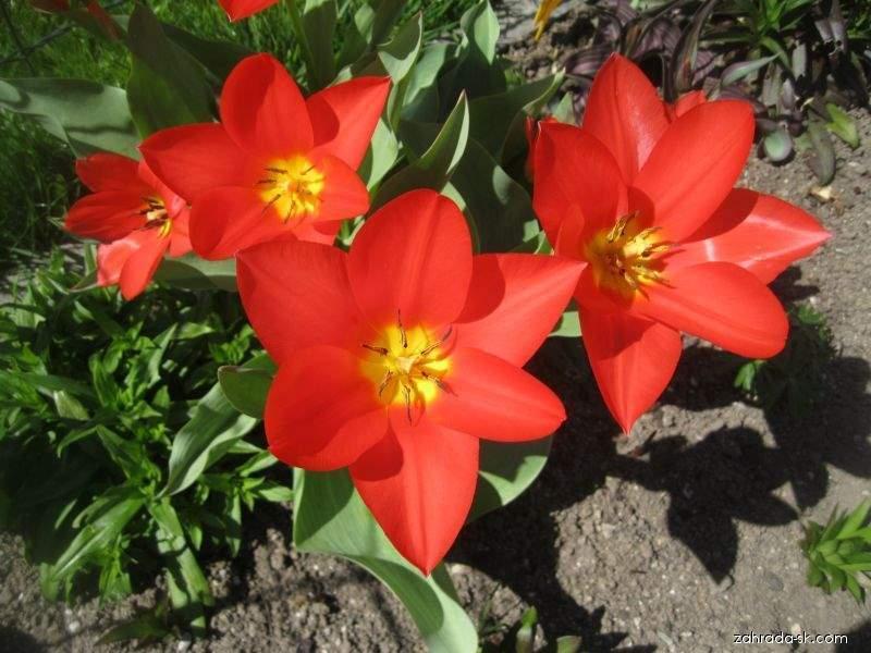 Tulipán Kaufmannov - Tulipa kaufmanniana Shakespeare