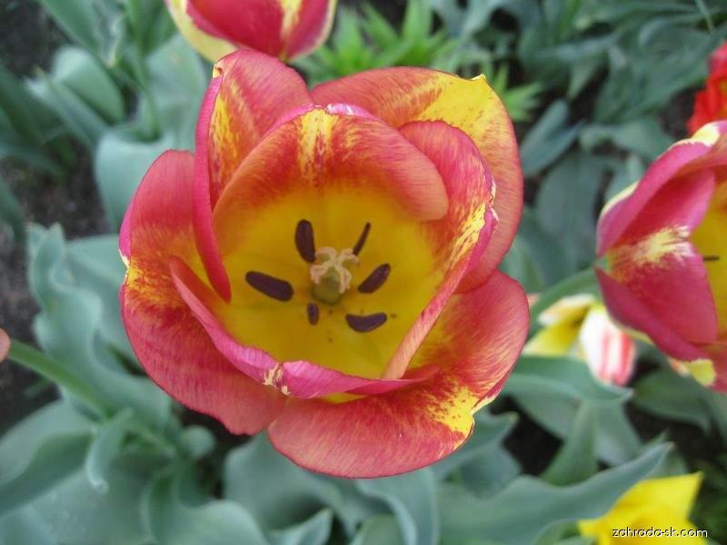 Tulipán Boston - Triumph tulipány (Tulipa x hybrida)