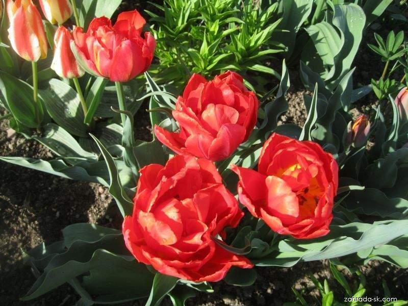 Tulipán Greigov - Tulipa greigii Dubbele Roodkapje