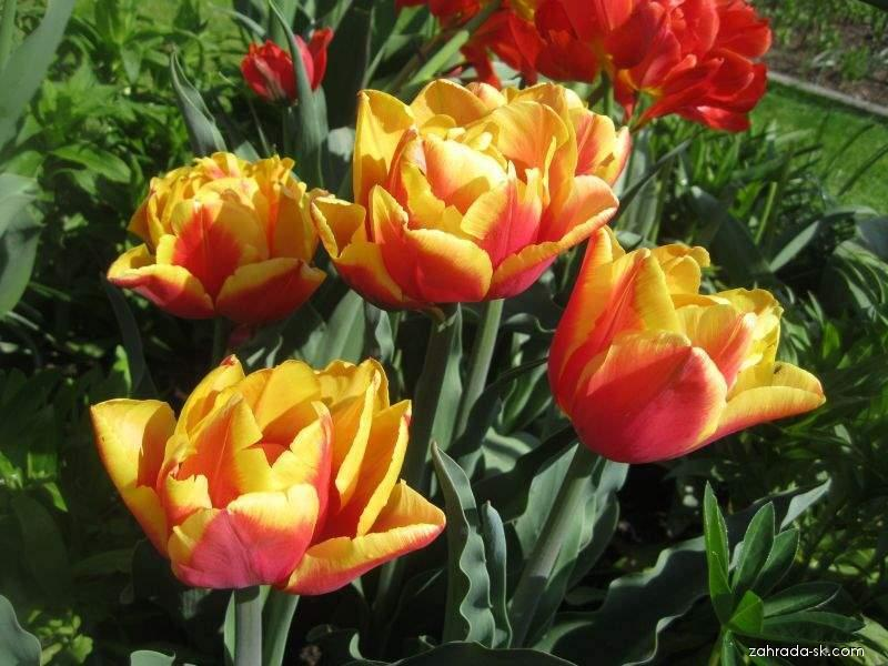 Tulipán Double Focus - Plné pozdní tulipány (Tulipa x hybrida)