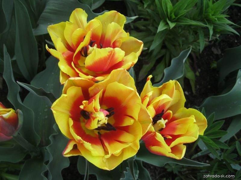 Tulipán - Tulipa Double Focus