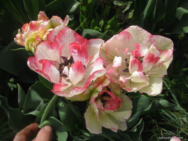 Tulipán - Tulipa Cartouche
