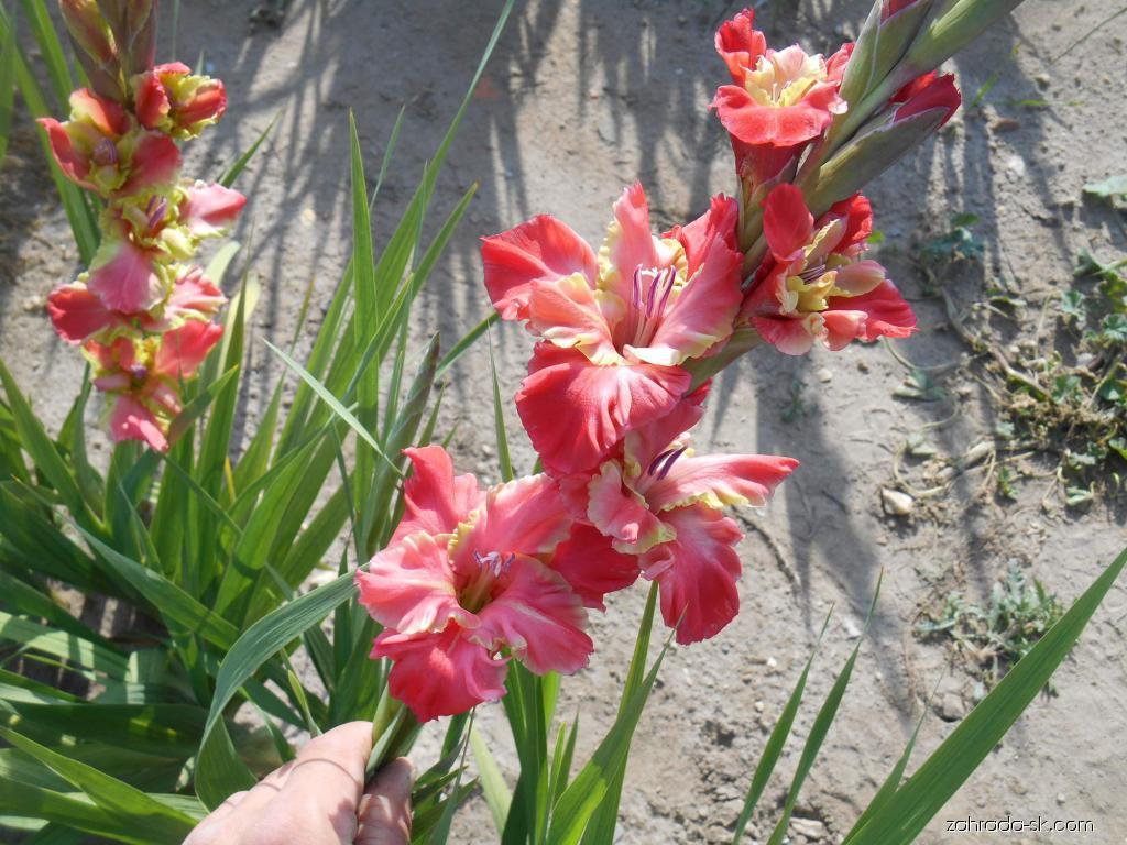 Mečík - Gladiolus Delirium
