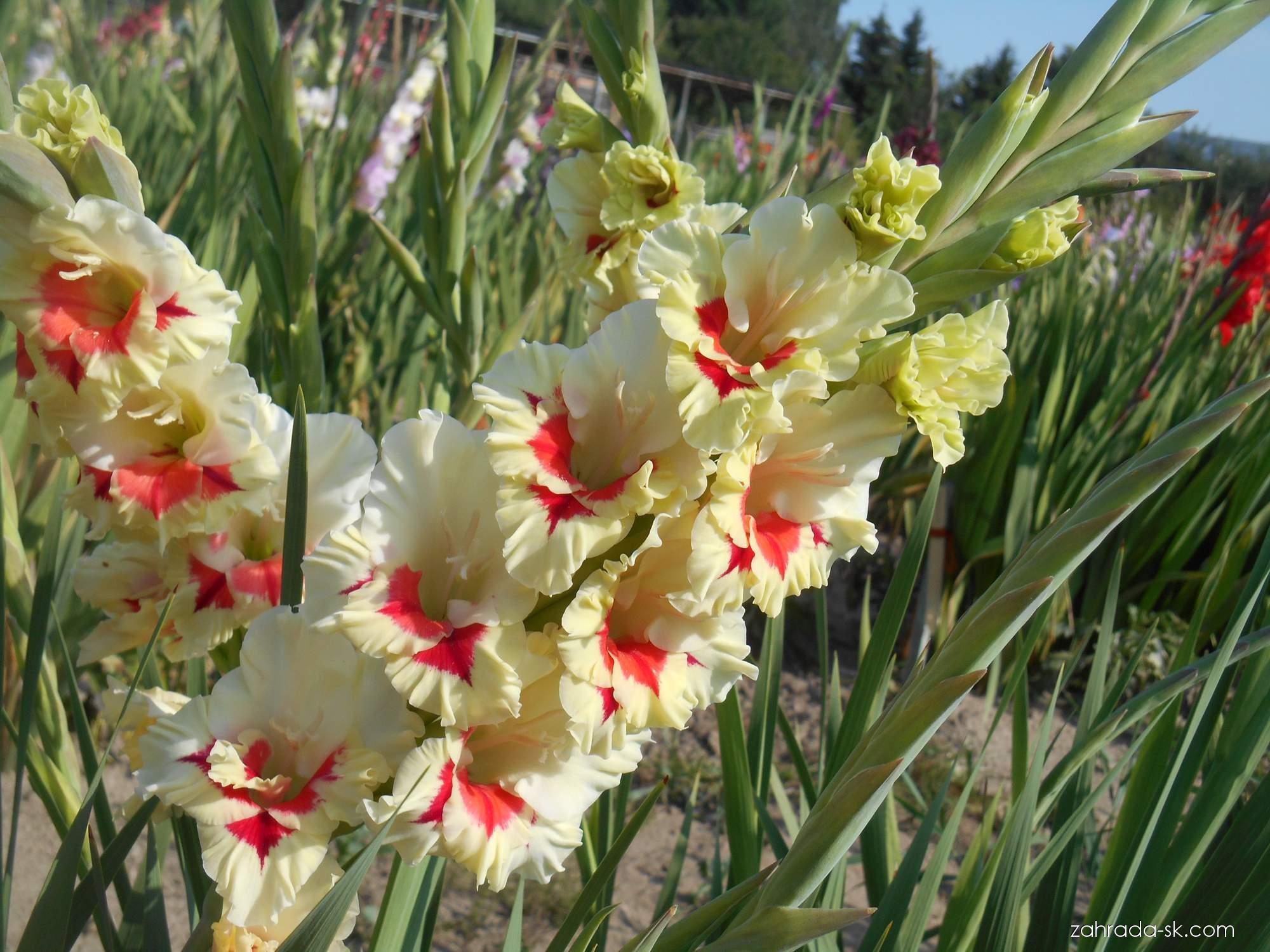 Mečík - Gladiolus Esperanto