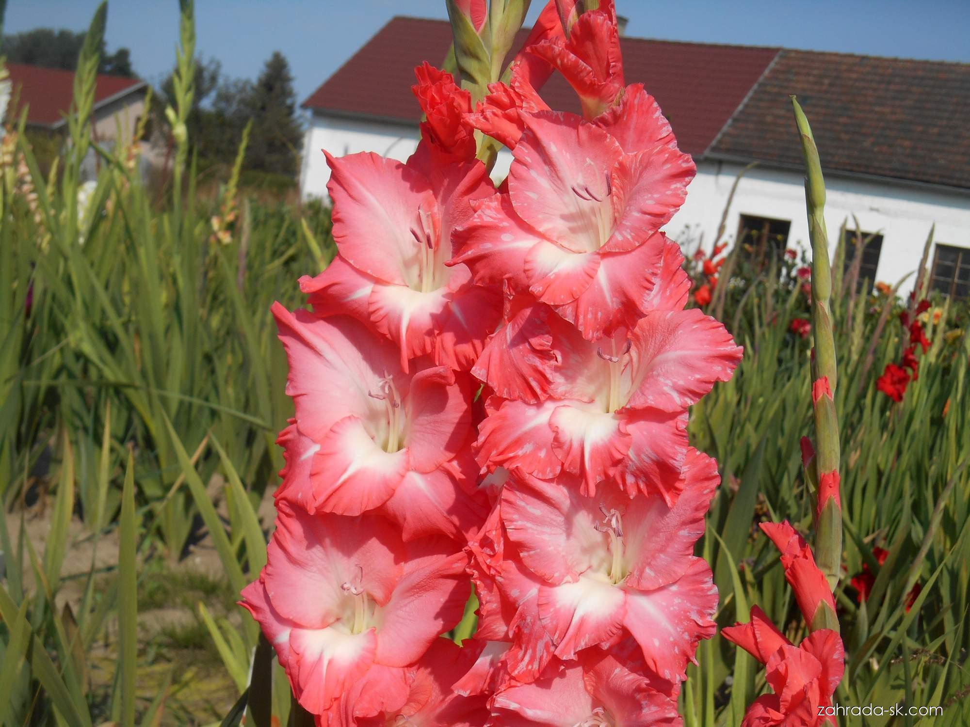 Mečík - Gladiolus Heidi
