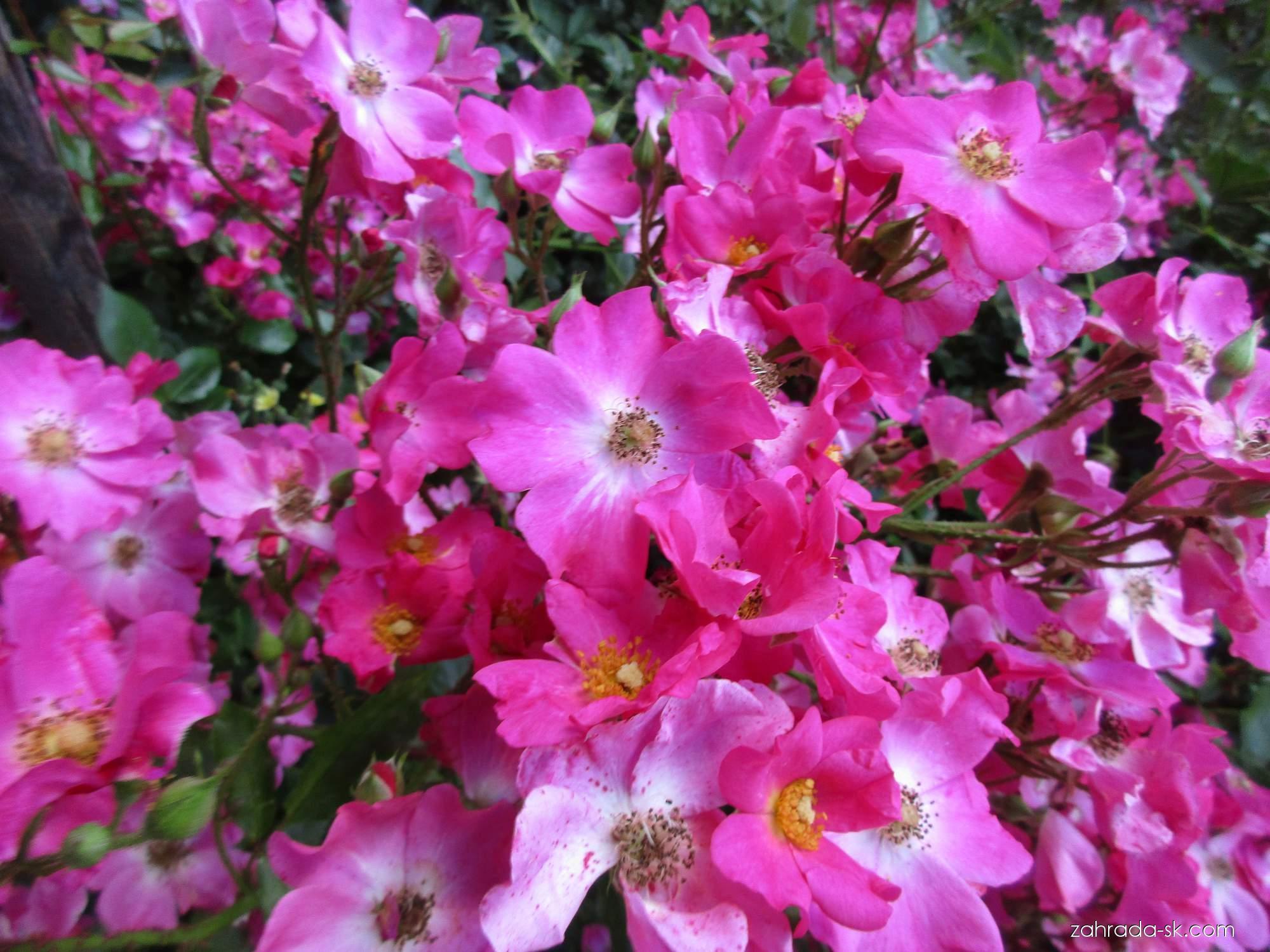 Ruža - Rosa Rosy Carpet