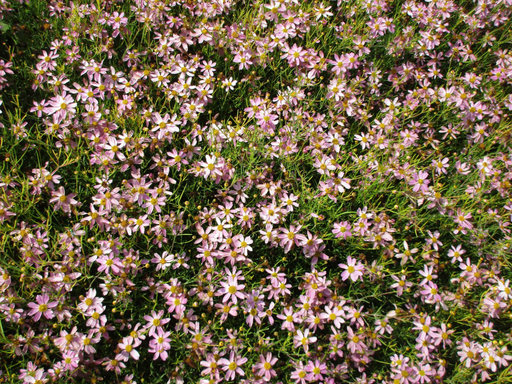 Krásnoočko růžové American Dream (Coreopsis rosea)