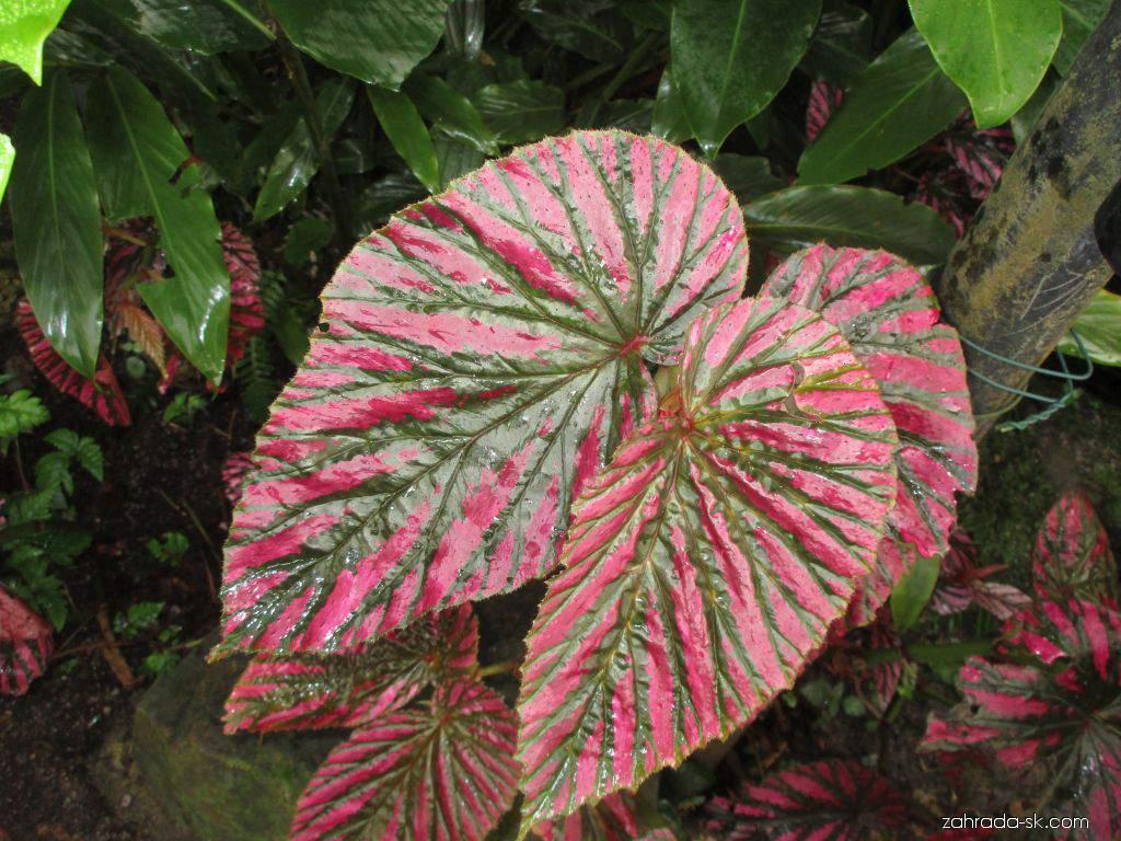 Begonie (Begonia brevirimosa)