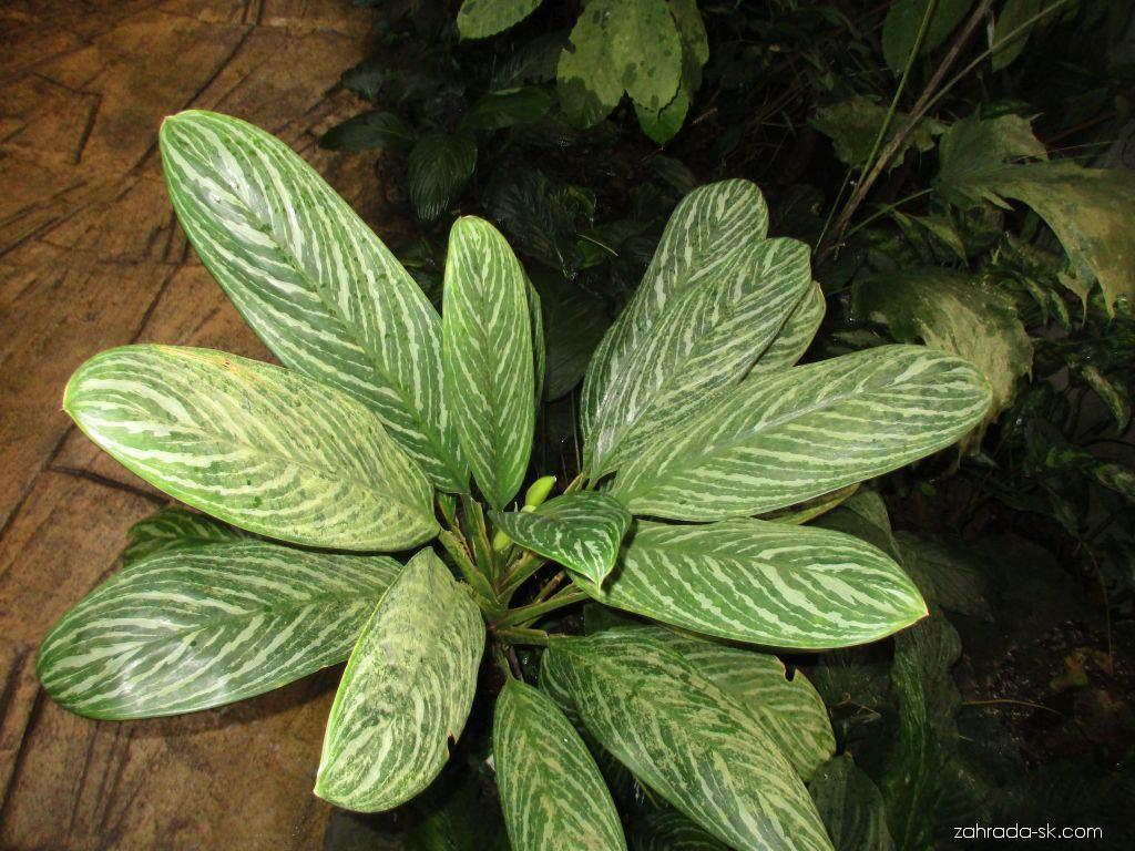 Aglaonema (Aglaonema nitidum)