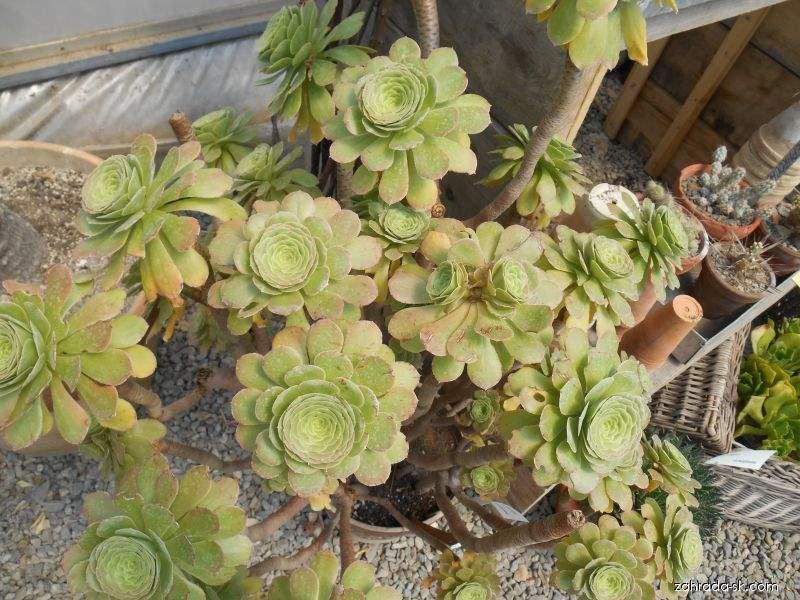 Eonium stromkovité (Aeonium arboreum)