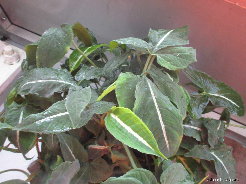Syngonium (Syngonium wendlandii)