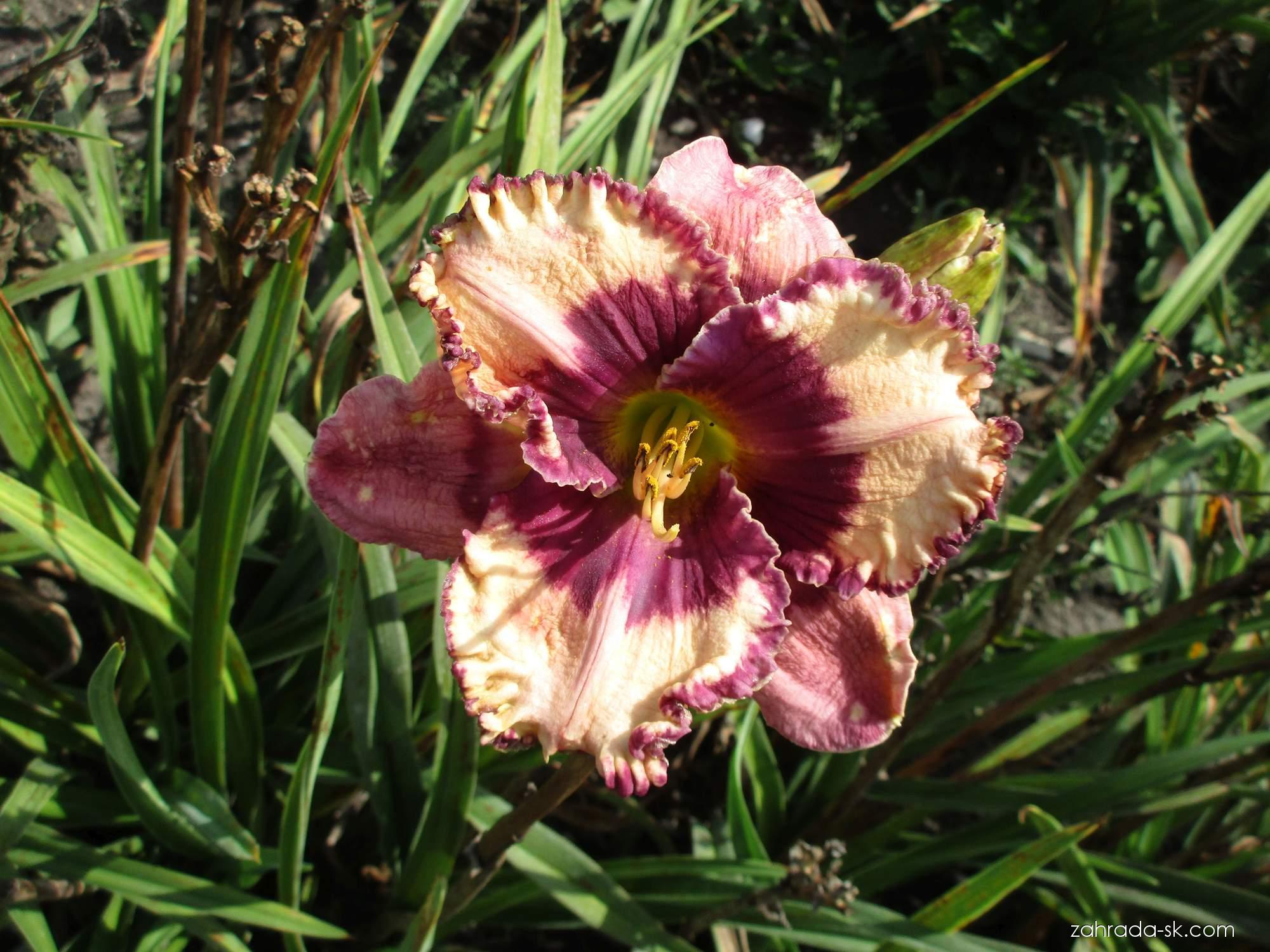Hemerocallis Regal Amethyst (ľaliovka)
