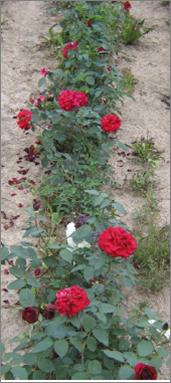 Růže - Mildred Schell (Rosa)