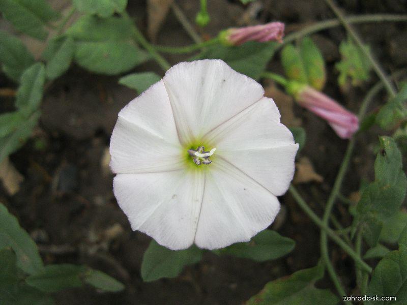 Svlačec rolní (Convolvulus arvensis)
