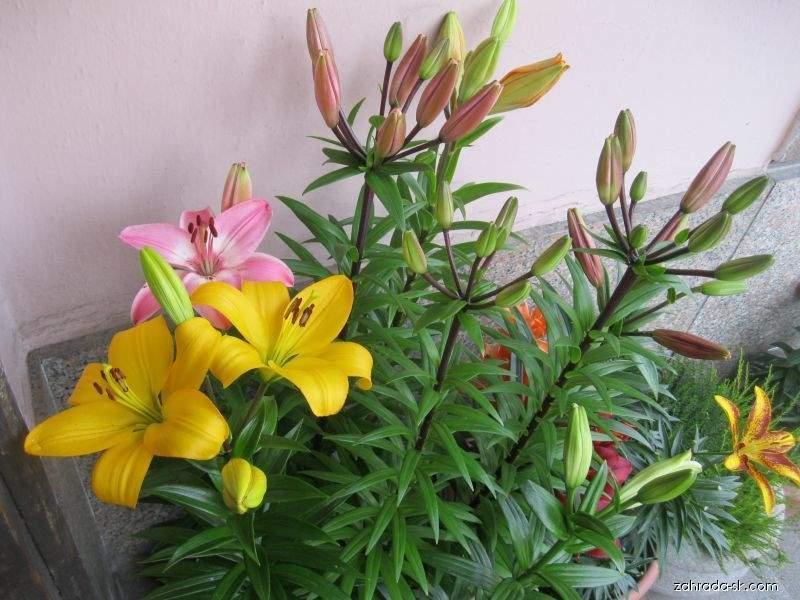 Lilie - LA hybridy (Lilium x hybridum)