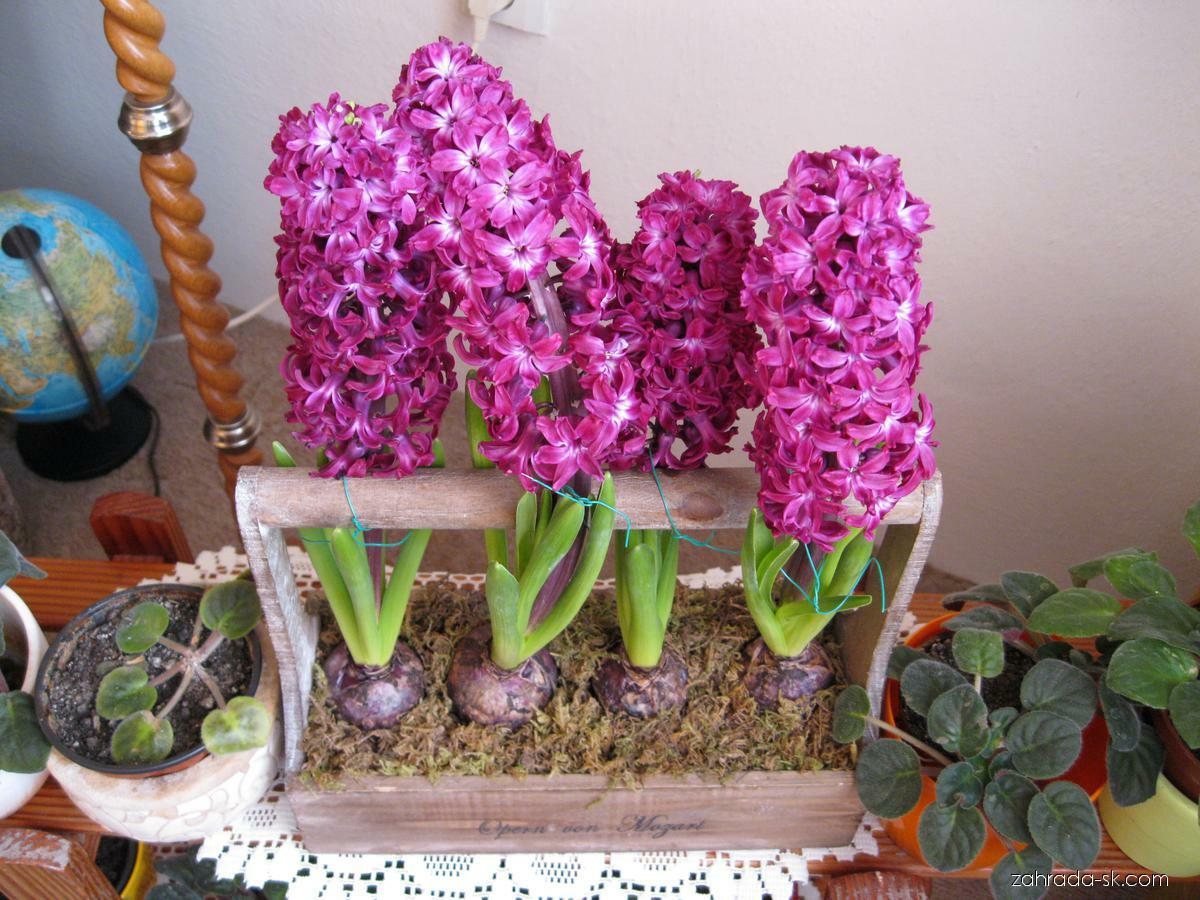 Hyacint východný - Hyacinthus orientalis