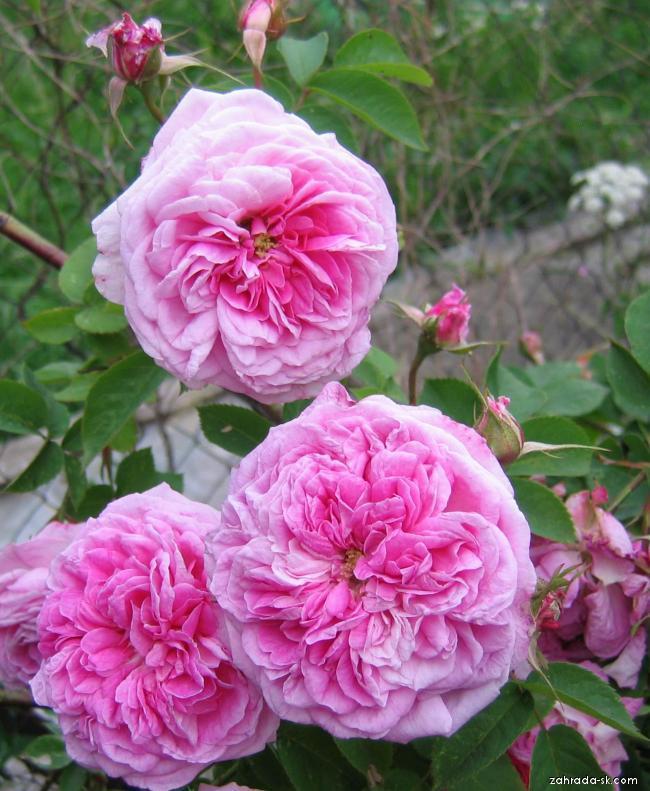 Růže stolistá (Rosa cetifolia)