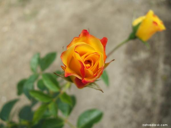Růže Lichtkönigin Lucia (Rosa)